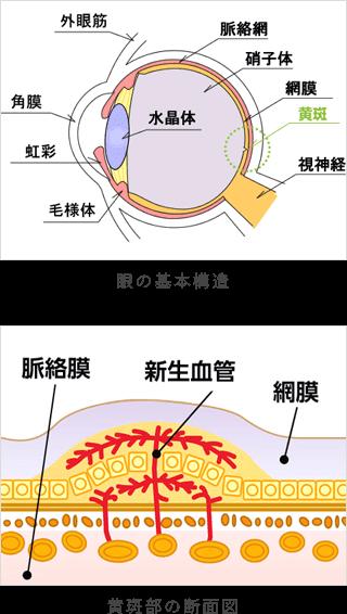 眼の基本構造と黄斑部の断面図